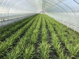 nira-harvest-2019-1