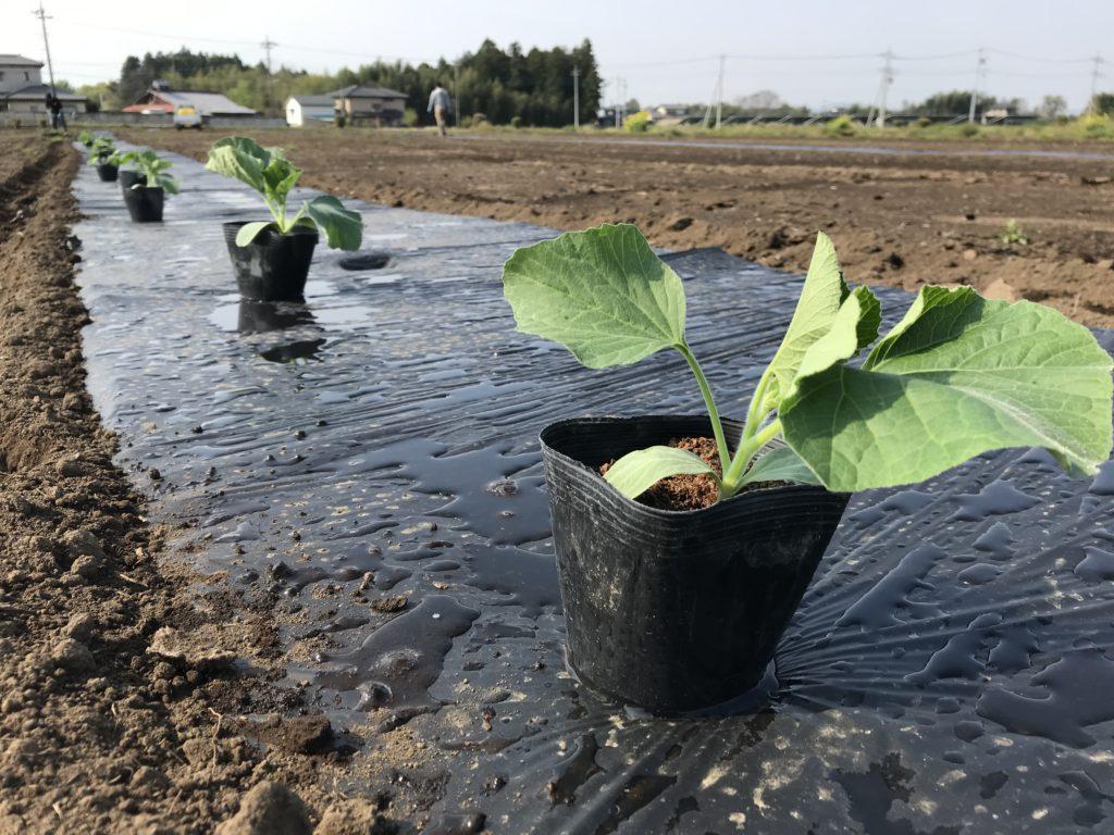 kanpyo-planting-2020-2