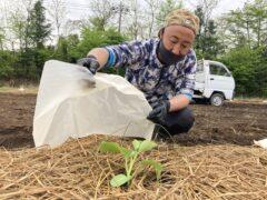 かんぴょう苗の定植【2021年度】
